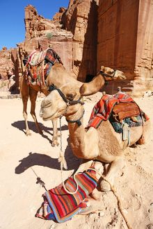 Camels in the rock city of Petra, Jordan