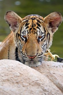 Cute tiger cub portrait at theTiger Temple in Kanchanaburi, Thailand