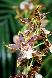Degarmoara Flying High 'Stars 'n' Bars' Orchid