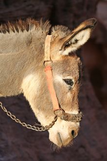 Donkey in the rock city of Petra, Jordan