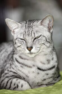 Egyptian Mau cat at the London Pet Show 2011
