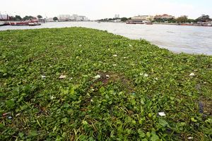 Floating vegetation on the Chao Phraya River in Bangkok, Thailand