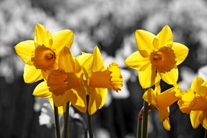 Flowers in Spring. Yellow Daffodils blooming, spot colour.