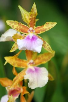 Miltonia Bluntii Orchid