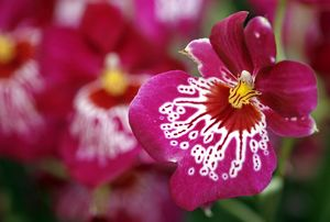 Miltonia Firewater Butterfly Orchid