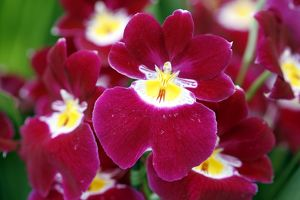 Miltoniopsis Red Woodham Orchid