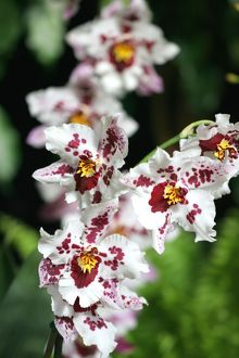 Odentioda Anna Claire Orchid