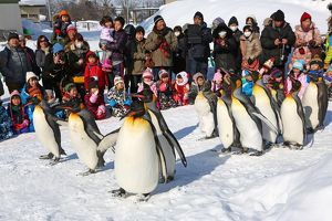 Penguin Walk at Asahiyama Zoo in Asahikawa, Japan