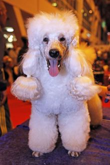 Poodle dog at the London Pet Show