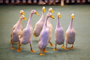 The Quack Pack Duck herding demonstration at the London Pet Show