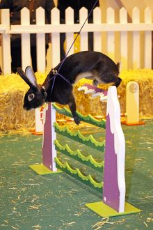 Rabbit Show Jumping at the London Pet Show