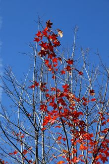 Red leaves on trees in during the Fall season of Autumn