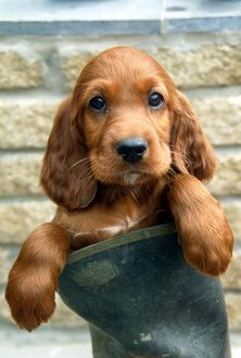 Red Setter Puppy in a boot
