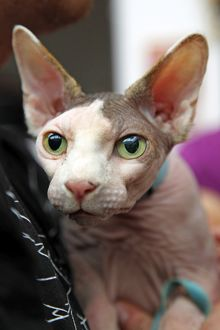 Sphynx cat at the London Pet Show 2011