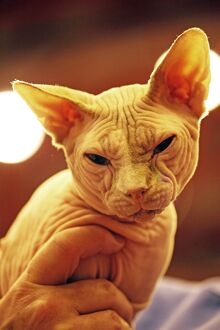 Sphynx Cat at the London Pet Show