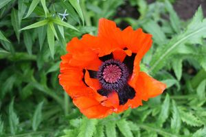 Poppy (Rights managed) Size: 5222 x 3482 pix 17.407' x 11.606' 300dpi