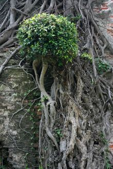 Tree on a wall, Anping Fort, Tainan, Taiwan