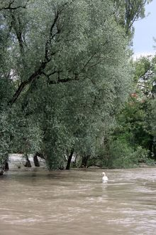Trees in the water, River Rhine, Rheinfelden, Switzerland