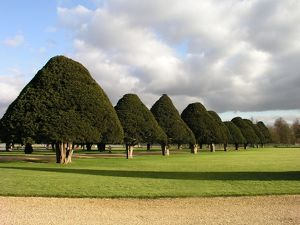 Yew Trees at Hampton Court, UK