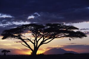 An acacia Tortilis frames the sun setting behind Longido Mountain
