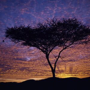 An Acacia tree silhouetted against a brilliant sunrise