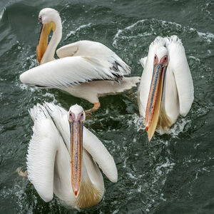 new/20191004 awl 7/africa namibia walvis bay great white pelican