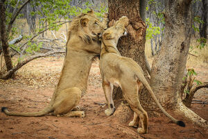 new/20191004 awl 10/africa zambia young couple lions