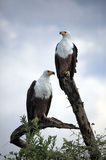 new/20191004 jai 7/african fish eagle haliaeetus vocifer queen