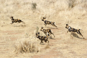 new/20191004 awl 7/african wild dogs running savannah namibia