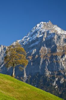 Autumn Color & Alpine Meadow, Wetterhorn & Grindelwald, Berner Oberland, Switzerland