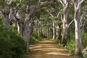 Avenue of trees, West Cape Howe NP. Albany, Western Australia.