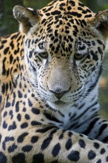Belize, Animals/Wildlife, Jaguar