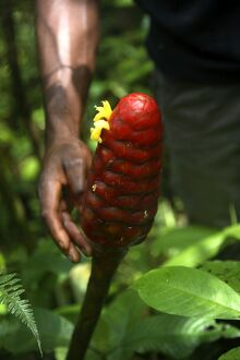 A bestaode macaco, a type of tropical flower of South American origin