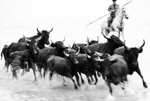 Black bulls of Camargue and their herder running through the water, Camargue, France