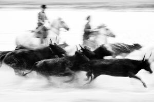 Black bulls of Camargue and their herders running through the water, Camargue, France