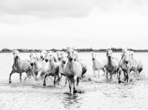 Camargue white horses galloping through water, Camargue, France
