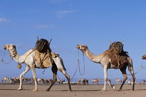 Camels belonging to the Gabbra are loaded with water