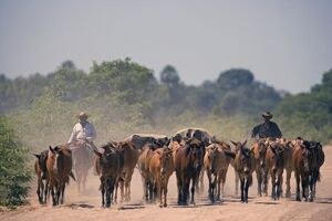Cattle drive during the dry season down one of the