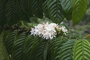 A coffee bush in flower displays its distinct white flower