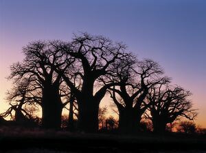 A dawn sky silhouettes a spectacular grove of ancient baobab trees