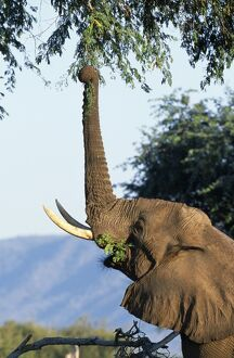 An elephant reaches up with his trunk to feed from a tree