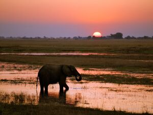 An elephant at sunset on the Chobe River