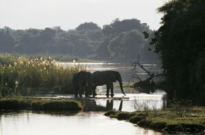 Elephants drink from the channel outside camp