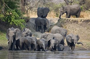 Elephants drink and cool off in the Katuma River.