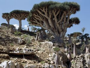 Endemic Dragon's Blood Trees