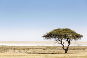 new/20191004 awl 7/etosha pan namibia africa lonely tree