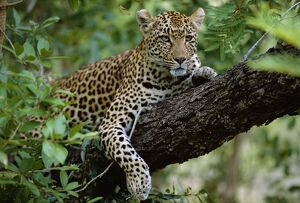 A female Leopard (Panthera pardus) rests in the shade