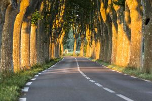 France, Provence, Vaucluse. Typical tree lined road at sunset