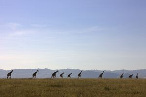 Giraffes on African Savannah, Lewa Wildlife Conservancy, Kenya