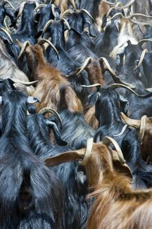 Goats, near Antalya, Mediterranean Coast, Turkey